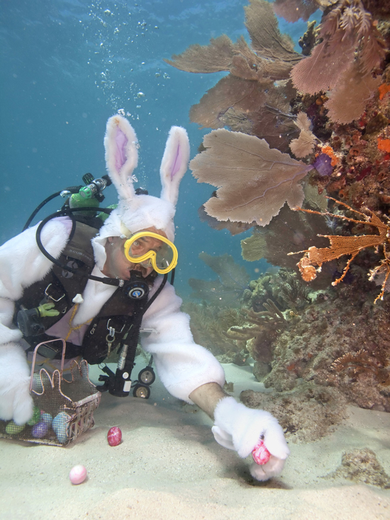 Spencer Slate, adorned in an Easter bunny costume, places eggs next to a coral reef Thursday, April 1, 2010, in the Florida Keys National Marine Sanctuary off Key Largo, Fla. Slate's Atlantis Dive Shop is planning an underwater Easter egg hunt Sunday, April 4, as a fundraiser for a local children's charity and he'll submerge again in costume. The eggs are real, with nontoxic coloring, to prevent negative ecological impact. FOR EDITORIAL USE ONLY (Bob Care/Florida Keys News Bureau/HO)